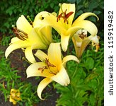 Beautiful yellow lilly with a water drops close up in garden - stock photo