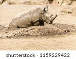 the southern white rhinoceros... | Shutterstock . vector #1159229422