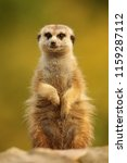 meerkat  suricate  suricata...