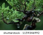Leaf Bonsai Juniper After The...