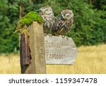 Stock photo two little owls perched on a public footpath signpost which is pointing to the right the owls are 1159347478