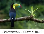 a perched keel billed toucan... | Shutterstock . vector #1159452868