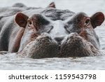 Hippopotamus In Chamo Lake In...