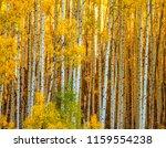 Colorado Gold  Aspen Boles In...