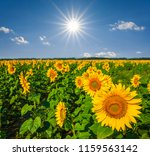 summer sunflower field under a... | Shutterstock . vector #1159563142