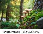 honey fungus on tree | Shutterstock . vector #1159664842