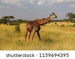 amazing giraffe in serengeti... | Shutterstock . vector #1159694395