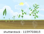 life cycle of pea plant. stages ... | Shutterstock .eps vector #1159703815