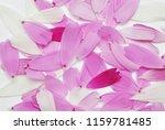 colored cosmos flower petals.... | Shutterstock . vector #1159781485