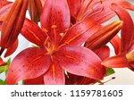 beautiful lily flowers | Shutterstock . vector #1159781605