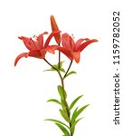 beautifult lily flower isolated ... | Shutterstock . vector #1159782052