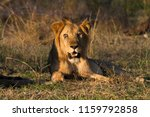 male lion in the selous game... | Shutterstock . vector #1159792858