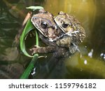 Natural Breeding Of Frogs In...