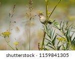 chiffchaff spring  lat.... | Shutterstock . vector #1159841305
