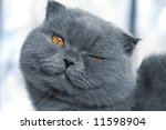 Scotitish Fold Grey Cat
