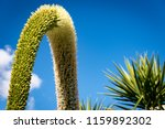 a foxtail agave with... | Shutterstock . vector #1159892302