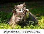 Stock photo family of cats outdoor cat with the baby kitten on grass cat hugs kitten cat plays kitten 1159906762
