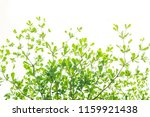 branch of  green leaf isolated... | Shutterstock . vector #1159921438