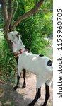 goat for sacrifice for muslims | Shutterstock . vector #1159960705