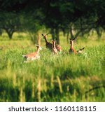 deer at the grass at the meadow ... | Shutterstock . vector #1160118115