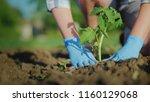 a woman farmer puts a tomato... | Shutterstock . vector #1160129068