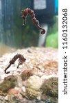 salt water aquarium sea horse | Shutterstock . vector #1160132068