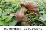 snail on green leaves | Shutterstock . vector #1160143942