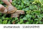 snail on green leaves | Shutterstock . vector #1160143945