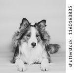 beautiful border collie dog in... | Shutterstock . vector #1160163835