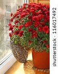Bush of beautiful red chrysanthemum on a balcony by a sun day - stock photo