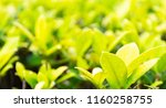 the beauty of nature leaves... | Shutterstock . vector #1160258755