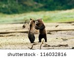 Grizzly Bears Dancing - stock photo