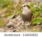 Gray Jay with insects in its beak.  Kananaskis, Alberta, Canada. - stock photo