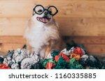 Naughty Brown Chihuahua Dog...