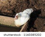 white duck in the summer season.... | Shutterstock . vector #1160385202