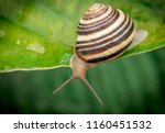 garden snail  crawling on green ... | Shutterstock . vector #1160451532