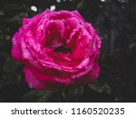 flower of a rose  with drops of ... | Shutterstock . vector #1160520235