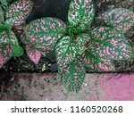 hypoestes phyllostachya with... | Shutterstock . vector #1160520268