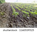 soybean on the field  | Shutterstock . vector #1160539525
