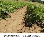 soybean on the field  | Shutterstock . vector #1160539528
