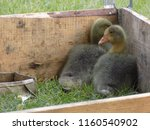 small cute geese | Shutterstock . vector #1160540902