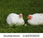 chicken in garden | Shutterstock . vector #1160543035