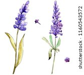 watercolor purple lavender... | Shutterstock . vector #1160543572