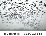Silhouettes Of Wild Geese...