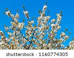 cherry blossom in jerte valley  ... | Shutterstock . vector #1160774305