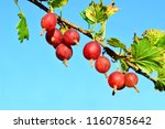 red gooseberry on a branch. the ...   Shutterstock . vector #1160785642