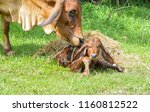 the cows are birth and the sun... | Shutterstock . vector #1160812522