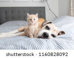 Stock photo young buff kitten hanging out with old boxer mix dog 1160828092