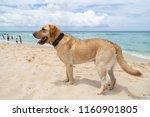 yellow labrador retriever on... | Shutterstock . vector #1160901805