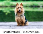 Summer portrait of black and sable tan purebred typical australian terrier. Pedigreed australian terrier dog sitting outside on wooden pier with green background. Smiling attractive doggy portrait  - stock photo
